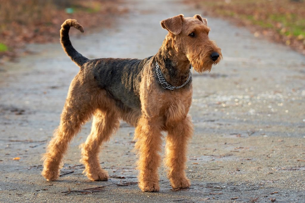 Dog breeds: the Airedale Terrier  Dogalize