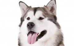 alaskan malamute dog breeds