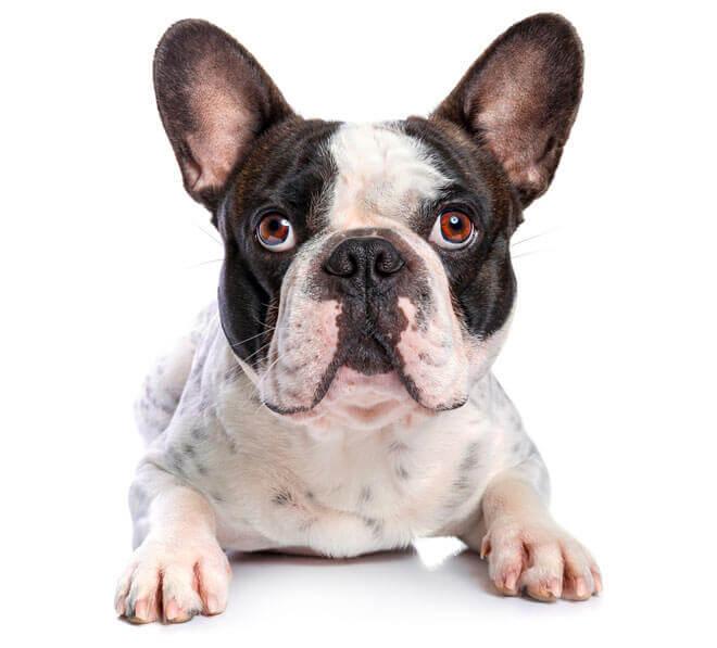 Razas de Perros: Bulldog francés caracteristicas y cuidados