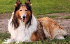perro Collie de pelo largo