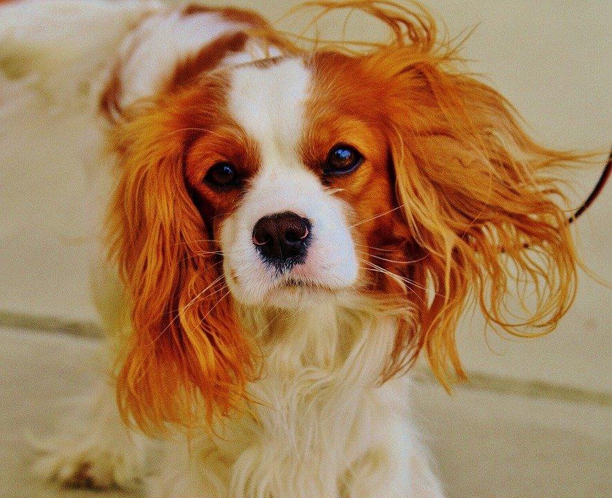 Cavalier King Charles spaniel perros de compañía