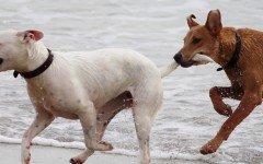 celo en perras comportamiento de la perra