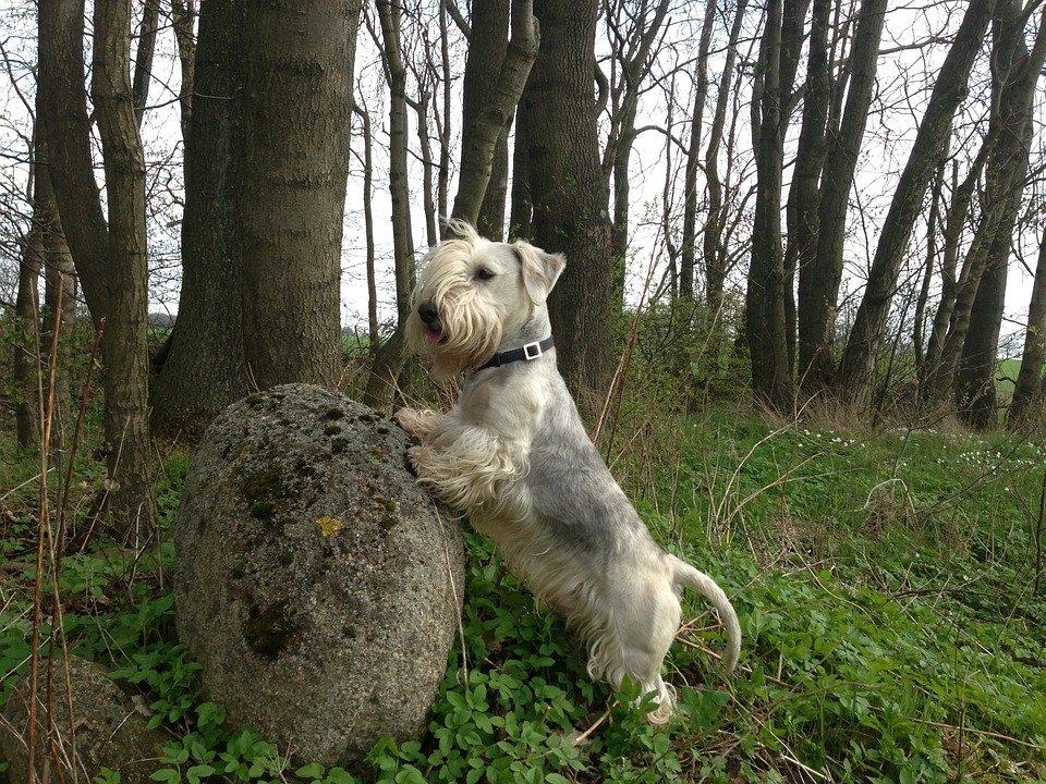 cesky terrier terrier checo