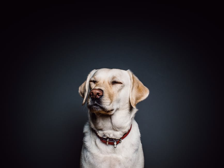 embarazo psicologico perras
