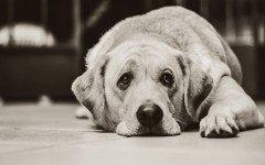 meningitis canina perro tiene meningitis