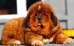 perro Mastin Tibetano Dogo del Tibet