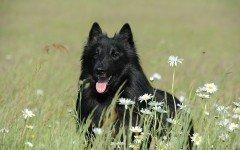 perro pastor belga groenendael