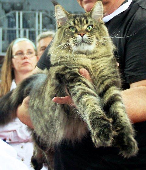 Il gatto più bello del mondo appartiene alla razza Maine Coon