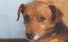 Il diabete del cane: cause, sintomi e come curarlo