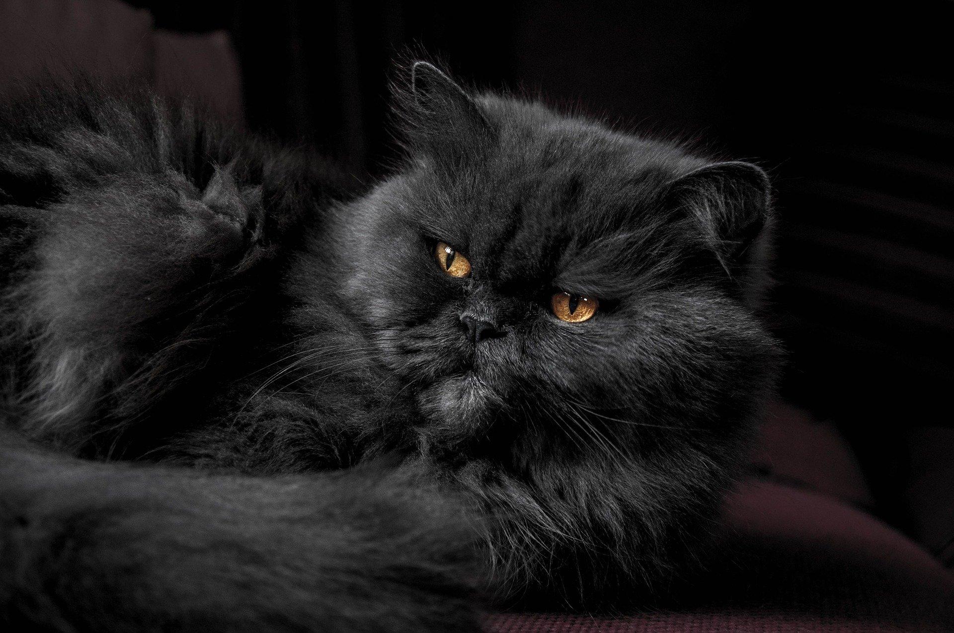Gatto persiano blu: una delle razze più richieste