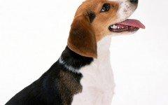Razas de Perros: Perro de Artois caracteristicas y cuidados sabueso artesiano