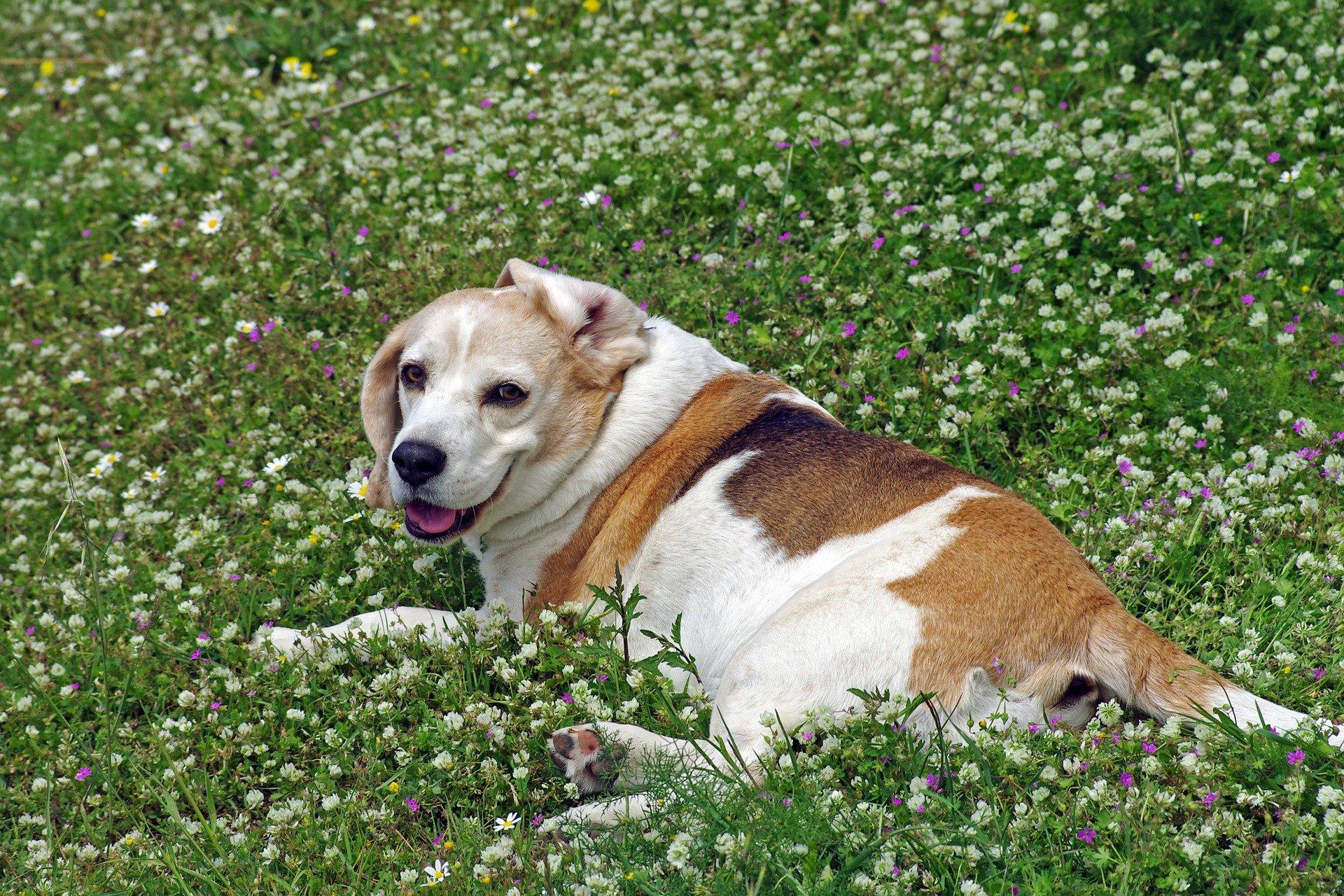 Cane sordo: sintomi della patologia, cause e trattamenti