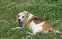 Tosse nel cane: le cause, la cura e i rimedi