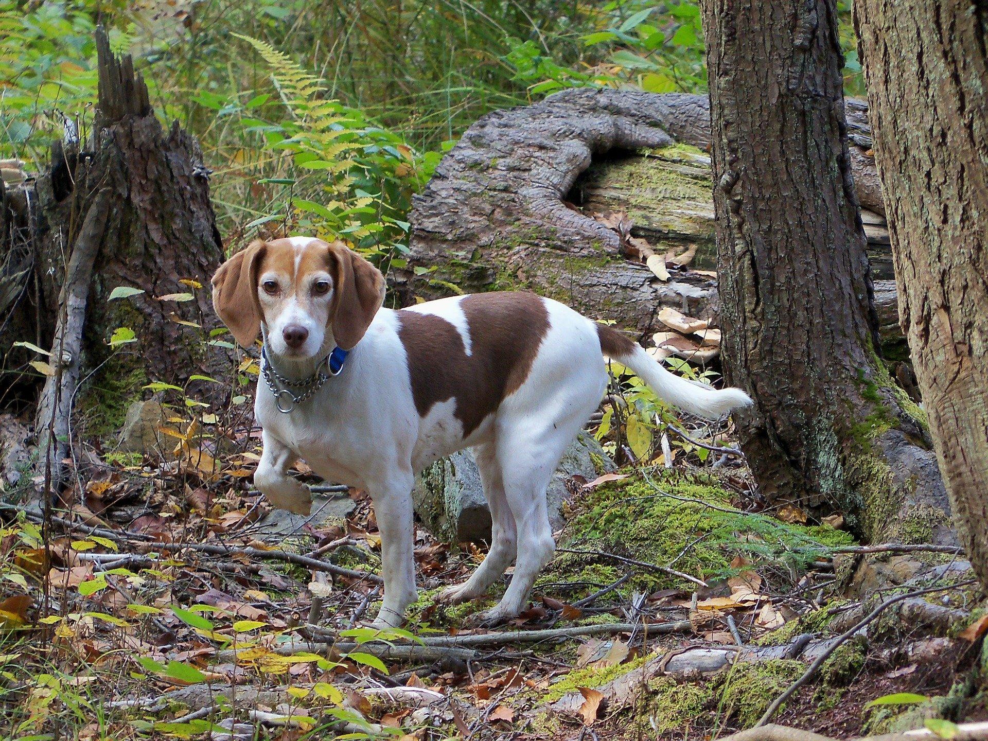 Come addestrare un cane a cercare tartufi interrati nel bosco
