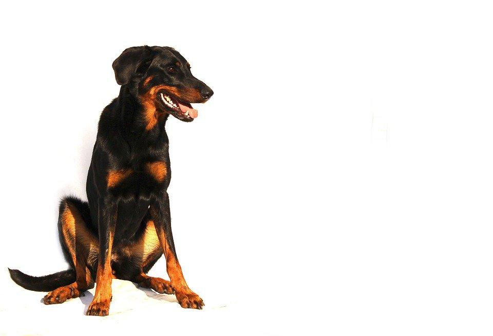 Razas de Perros: Beauceron caracteristicas y cuidados pastor de Beauce