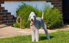 perro Bedlington Terrier