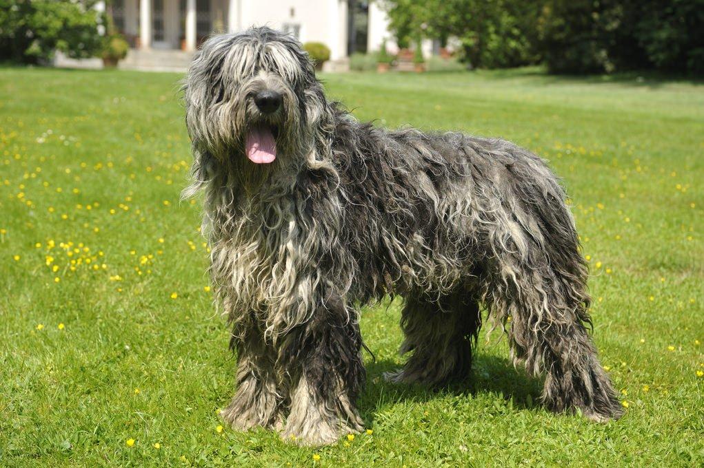 perro bergamasco