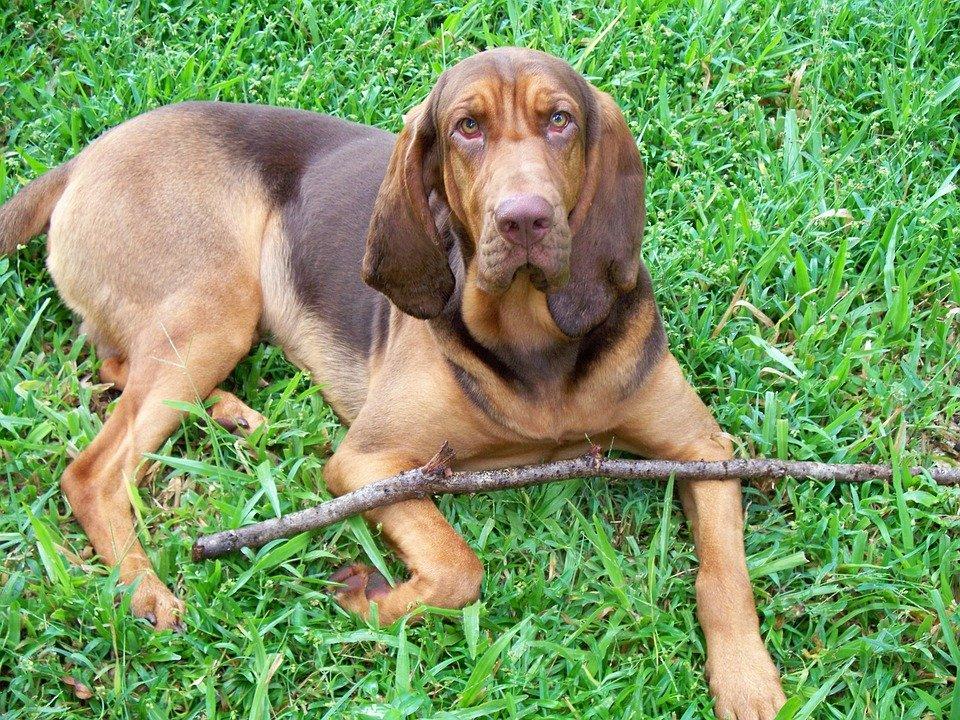 Razas de Perros: perro Bloodhound caracteristicas y cuidados