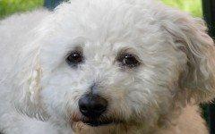 Cura del pelo del cane bolognese: la spazzolatura