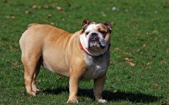 bulldog breed