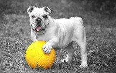 Cómo cuidar la piel de tu perro: consejos y trucos ¿Quieres aprender a cuidar la piel de tu perro? Con estos consejos prácticos la piel del perro con la humedad y suavidad que tu mascota merece. Cuidar la piel de tu perro es importante ya que la piel es un órgano involucrado en la respiración, transpiración y termorregulación de los seres vivos. Esto quiere decir que la salud integral pasa por mantener la piel del perro sana y bien cuidada. Mantenerla hidratada, limpia, libre de insectos parásitos o químicos irritantes es una de nuestras tereas más importantes. Aquí mostramos una serie de recomendaciones a tomar en cuenta para cuidar la piel de tu perro. La piel del perro es uno de los órganos más importantes de su cuerpo 1. Alimentación balanceada: una dieta sana, rica en ácidos grasos, proteínas y omega 3 es una de las mejores opciones para mantener la piel del perro completamente sana y reluciente. Algunos médicos veterinarios pueden recomendar complementos vitamínicos con sustancias especiales para el cuidado de la piel de tu perro. 2. Cepillado: el cepillado frecuente es de gran ayuda para cuidar la piel de tu perro. Así retirarás enredaderas, removerás pelos muertos y mantendrás alejados a los insectos indeseados. Procura utilizar un peine de cerdas suaves y realizar el peinado uniformemente y sin demasiada presión. 3. Baños: el baño es importante cada vez que tu perro esté sucio. Es importante utilizar jabón especial para perros, ya que otro tipo de jabones o detergentes podría ser perjudicial (irritantes). Existe una gran gama de champuses caninos. Utiliza el de tu preferencia y más aún si brindan protección contra pulgas y garrapatas. Cuidar la piel de tu perro: con estos consejos tu mascota estará reluciente 4. Hidratación: una de las cosas más importantes en la convivencia de un perro en el hogar es garantizar su acceso al agua fresca. Proporciónale la oportunidad de beber agua en abundancia y así su pelaje se mantendrá sano y brillante. 5. Supervisión mé