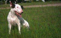 Bull Terrier perro Bull Terrier