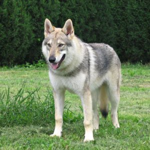 cane lupo italiano