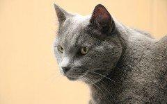 Toxoplasmosi nel gatto, le cause e i sintomi