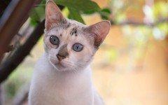 Vitiligine nei gatti: i sintomi della malattia genetica