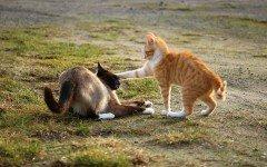 Gatti che litigano: le cause e i rimedi per limitarlo