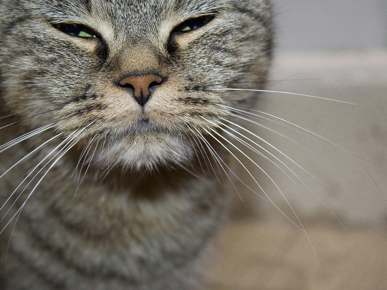 Gatto starnutisce: cosa fare? Forme allergiche e soluzioni