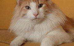 Gatti a pelo lungo, tutte le caratteristiche e le razze