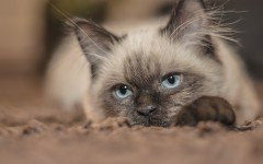 Gatto triste: la depressione colpisce anche i felini