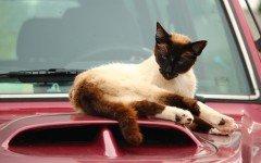Gatti in auto: obblighi di legge e consigli