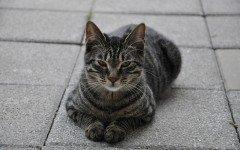 Gatti grigi, tutte le loro caratteristiche e le razze