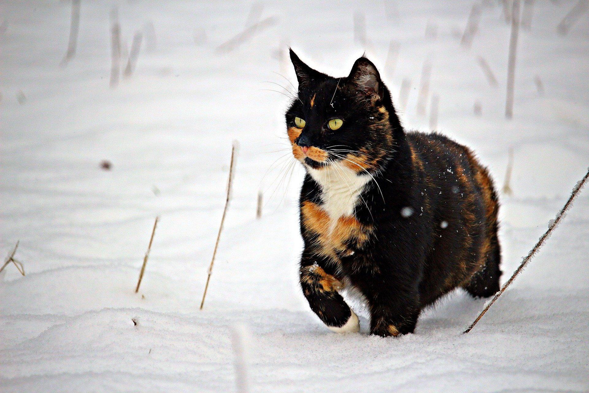 Gatti tricolore: è vero che sono tutti di sesso femminile?