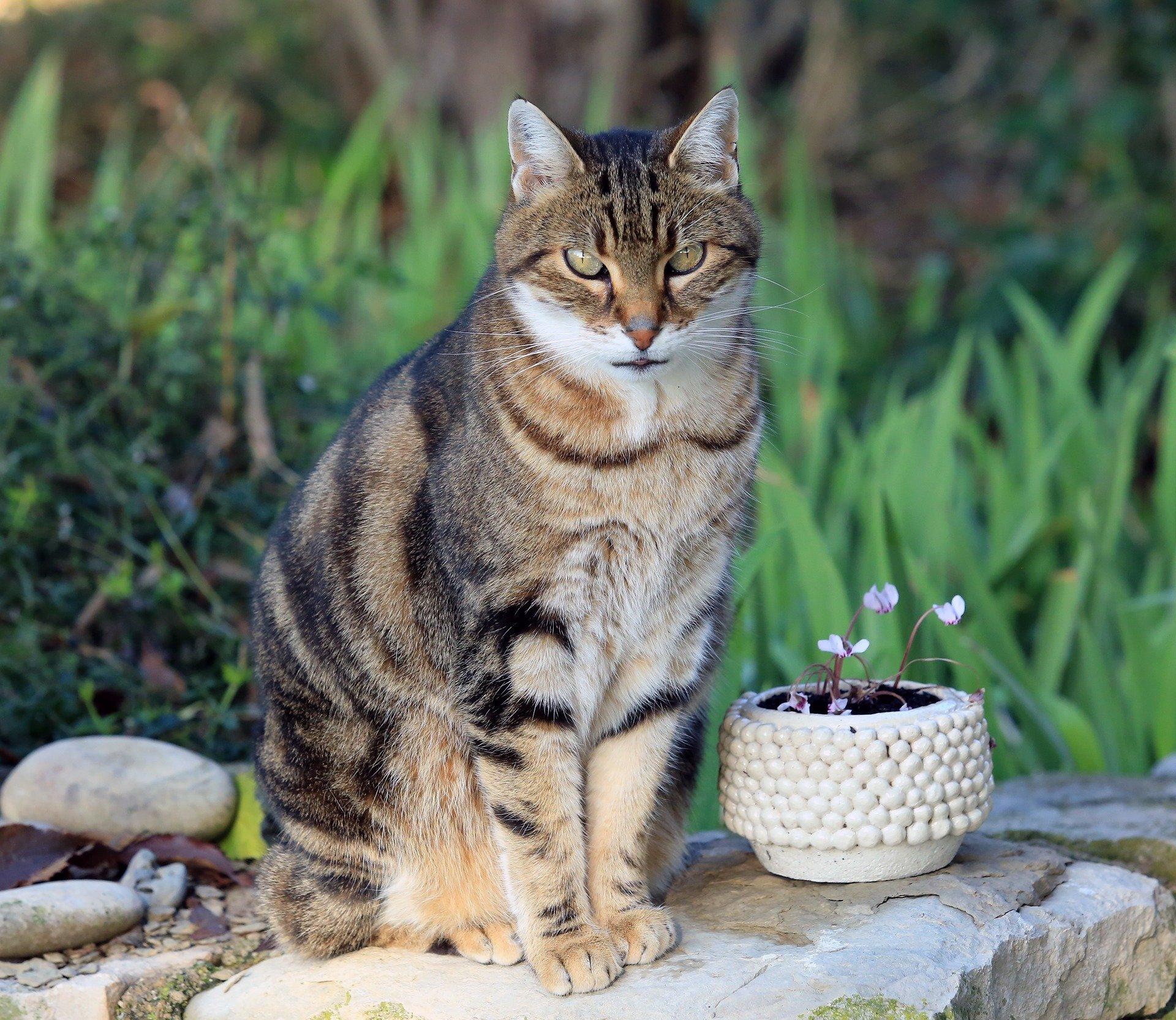 Gatto Maschio In Calore Ecco Il Suo Comportamento Dogalize