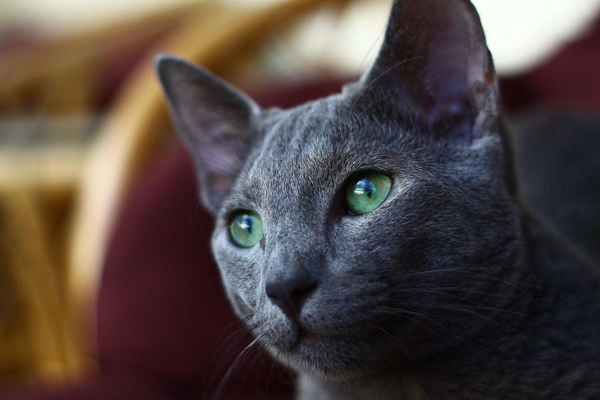 Forfora nel gatto, perché si forma e il trattamento