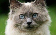 Linfociti alti nel gatto: le cause e le terapie