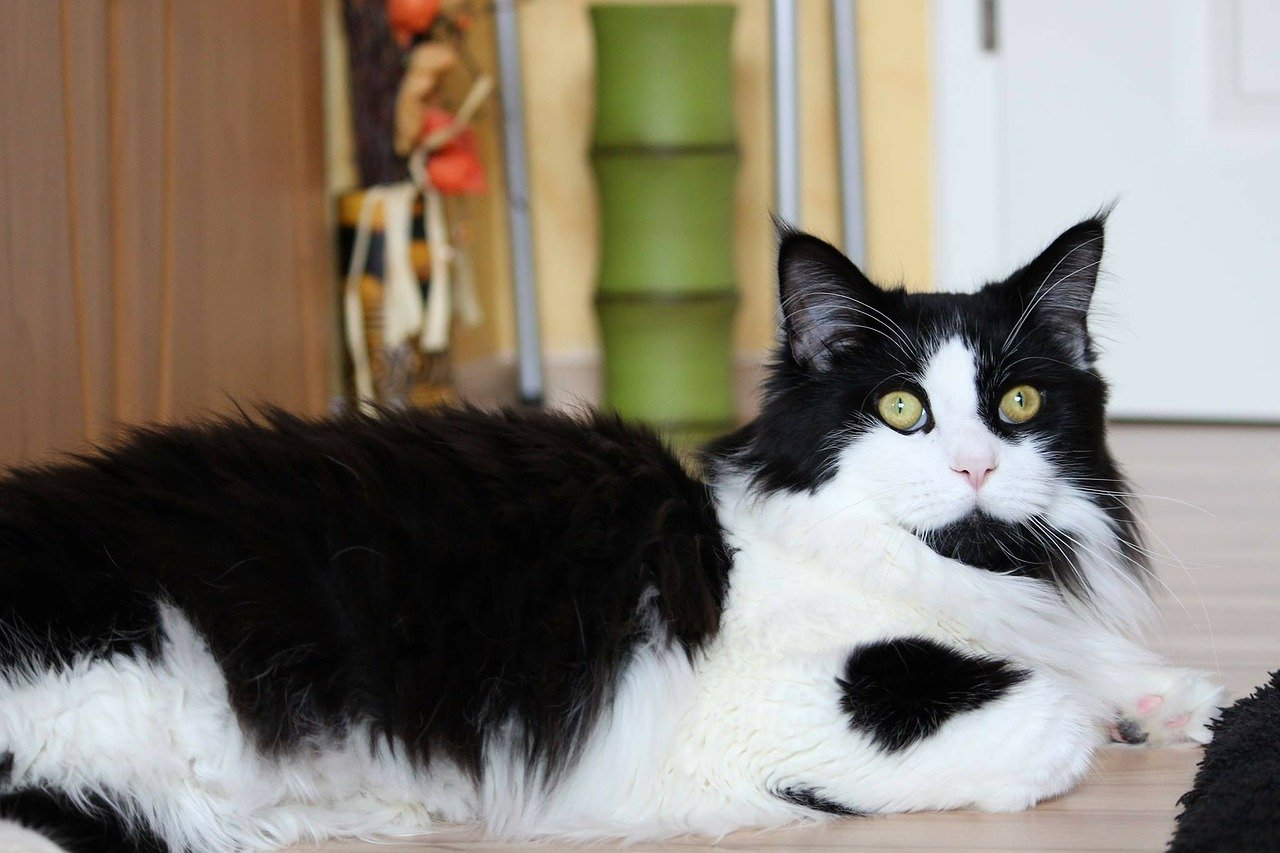 Gatto a pelo lungo e le sue caratteristiche