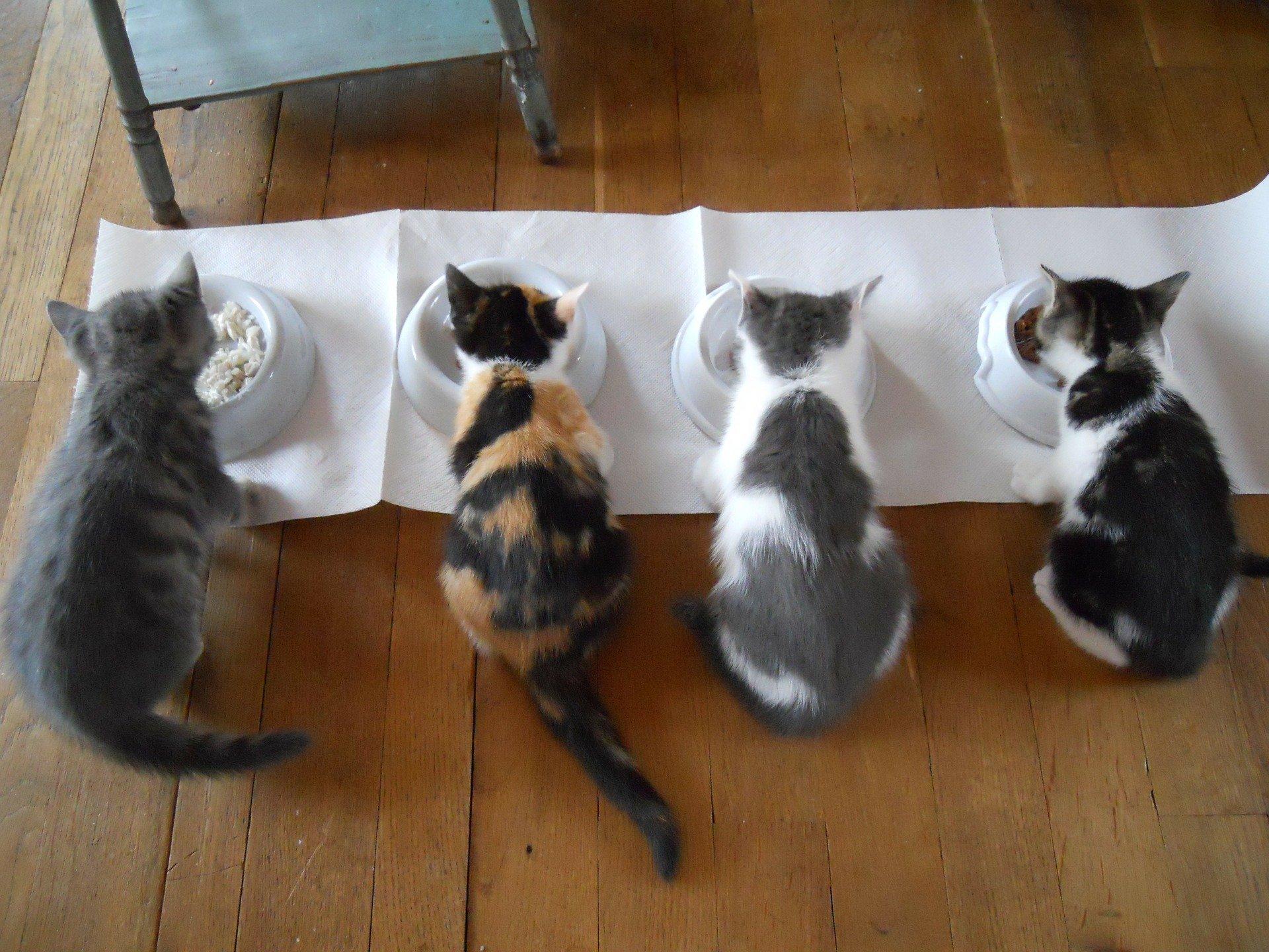 Cibo per gatti fatto in casa, cosa preparare?