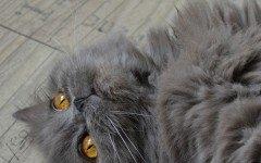 Pelo del gatto: tutto quello che c'è da sapere