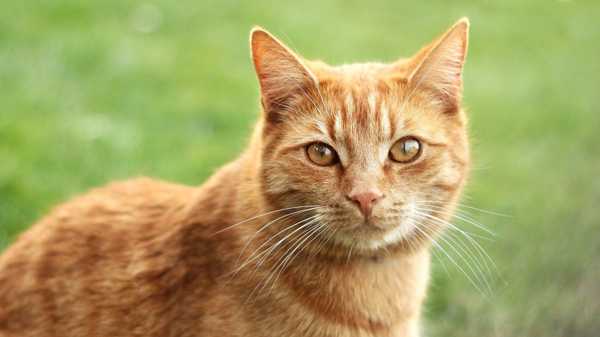 Comfortis gatto: cos'è e quando somministrarlo