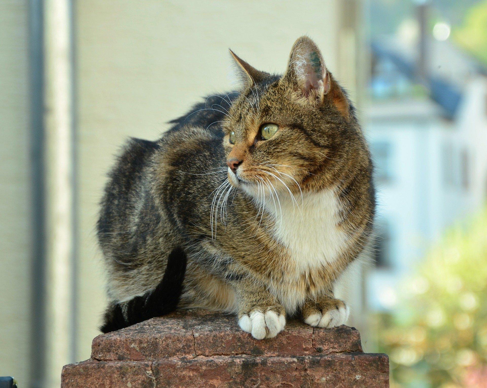 Malattia da graffio del gatto: quali sono i sintomi?