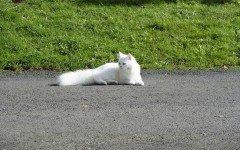 Gatto persiano bianco: gli esemplari più amati