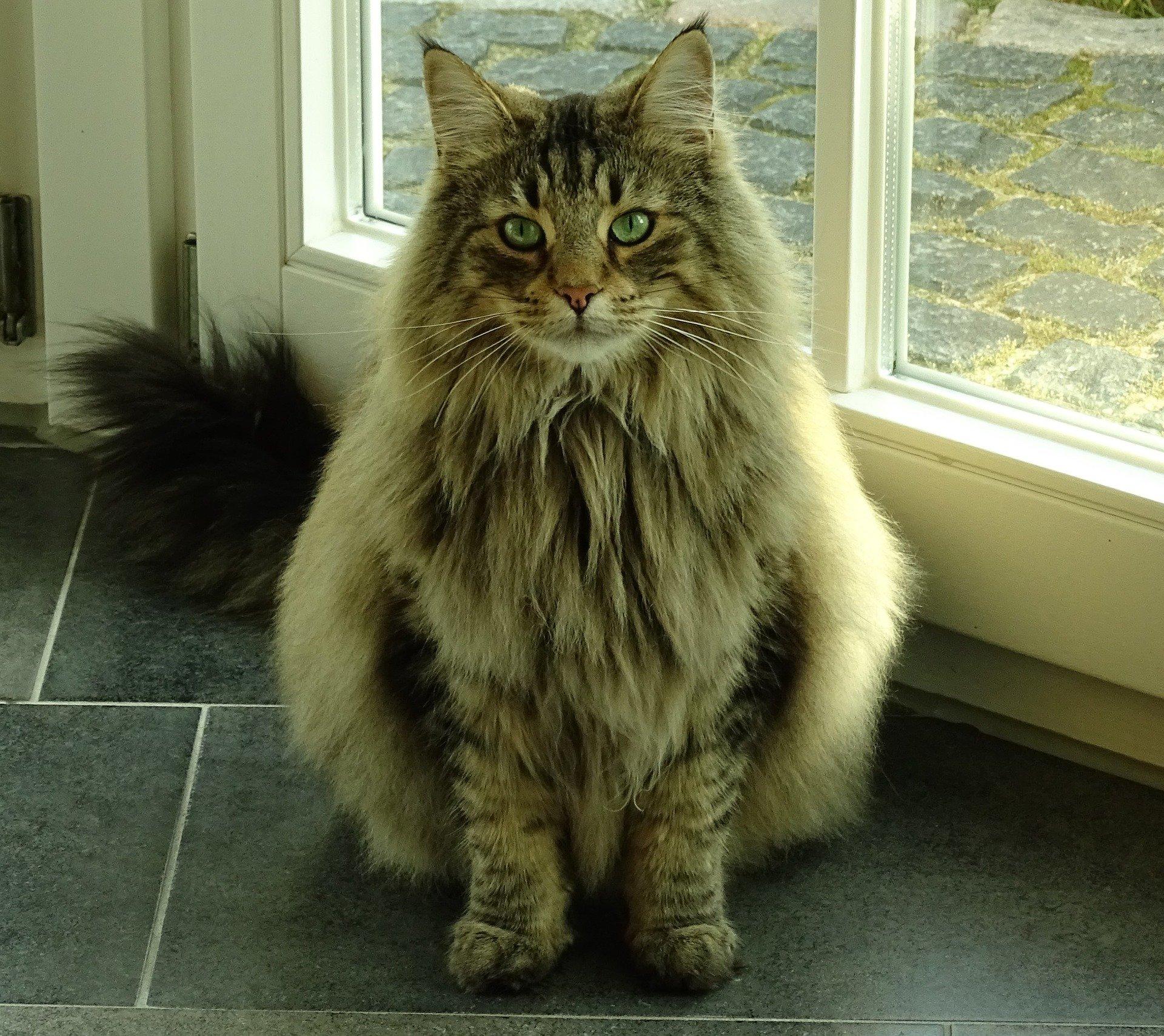 Gatto gigante norvegese, tutte le caratteristiche