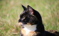 L' alimentazione del gatto sterilizzato: i consigli da seguire