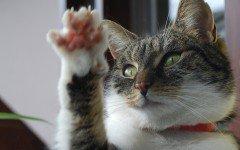 Malattia da graffio di gatto, in cosa consiste