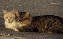 Gatti innamorati: scoppia l'amore anche fra i felini