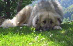 Le malattie genetiche del cane, quali sono in base alle razze